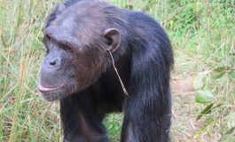 Şempanzeler Küpe mi Takıyor?