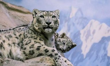 Büyük Kedilerin Ortak Atası Tibet'te Yaşamış Olabilir