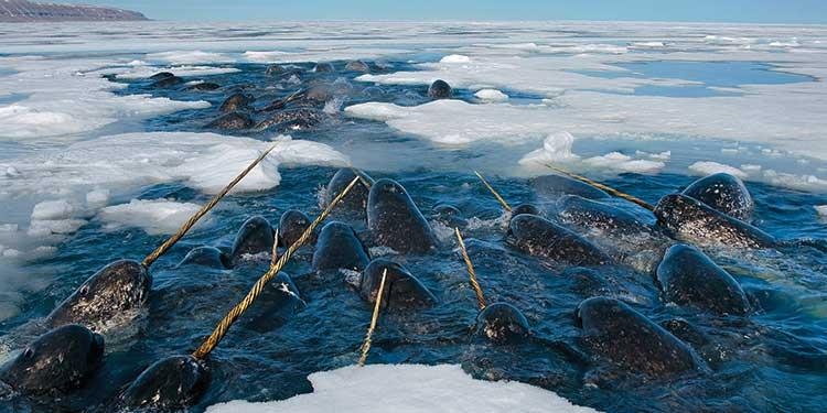 Deniz Gergedanları Ekolokasyon Konusunda Çok İyi