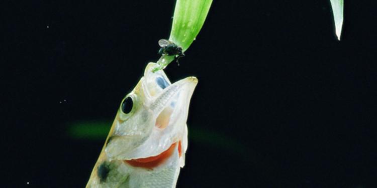 Balıklar Zekâ Problemlerinde Primatları Geride Bırakabiliyor