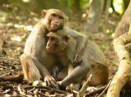 Maymunların Sosyal Statüleri Bağışıklık Tepkilerini Değiştiriyor