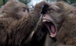 Maymunlar Neden İnsanlar Gibi Konuşamıyor?