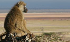 Erkek Babunlar Neden Grup İçi Şiddete Başvurur?