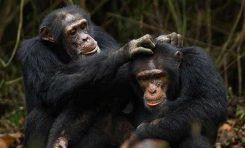 İşbirliği ve Fedakarlığın Evrimi 3: Primatlarda İşbirliği ve Kültür