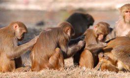 Maymunların Batıl İnançları Var mı?