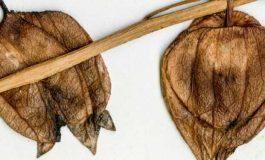 Patlıcangillerin Evrimsel Geçmişi Sanılandan Daha Eski Çıktı
