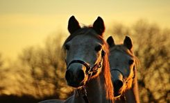 Atlar, Evrimin En Büyük Sorularından Birine Cevap Bulmamızı Sağlıyor