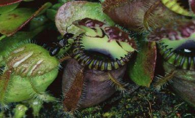 Bitkilerde Etçil Beslenme Nasıl Evrimleşti?
