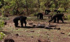 Eski Diktatörlerini Döverek Öldüren Şempanzeler