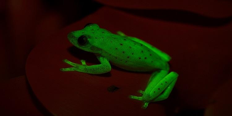 Bilinen İlk Doğal Işık Saçan Amfibi