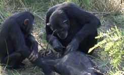Cesedin Dişlerini Bir Ölüm Ritüeli Gibi Temizleyen Şempanze Gözlemlendi