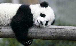 Panda Kürkü Çözümlendi