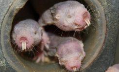 Tüysüz Köstebek Faresi Neredeyse Hiç Oksijen Almadan Hayatta Kalabiliyor