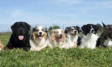 Köpekler Nereden Geliyor? Cevabı Köpek Irkları Soy Ağacında