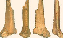 Neandertallerin Şekil Verdiği Kuzgun Kemiği