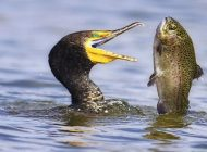 Balık Gözünde Yaşayan Bir Parazit Balığın Davranışlarını Kontrol Ediyor