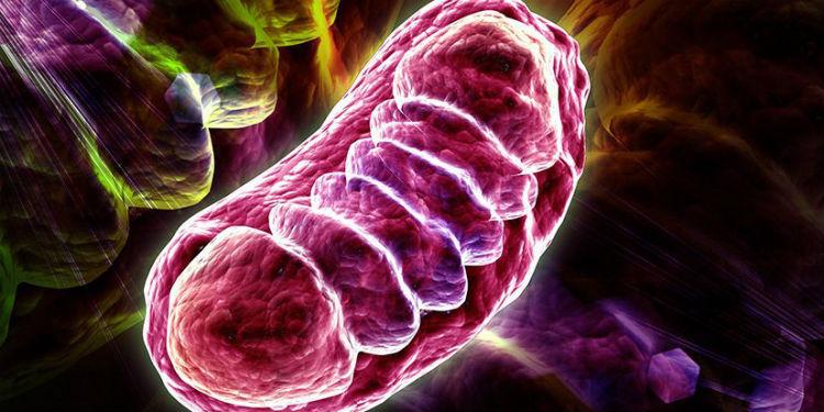 Mitokondriler 50 Santigrat Derecede Çalışıyor Olabilir
