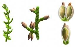 Dünyamızda Açan İlk Çiçeklerden Biri: Montsekya