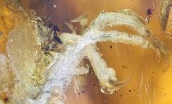 Kehribar İçinde Neredeyse Eksiksiz Kuş Fosili Bulundu