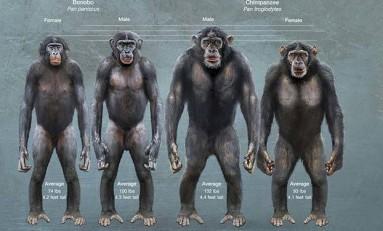İnsanın Kas Anatomisi Bonoboya Şempanzeden Daha Fazla Benziyor