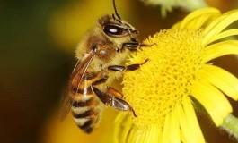 Arı Ölümlerine Sebep Olduğumuza Dair Güçlü Deliller Elde Edildi