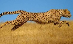 En Hızlı Hayvanlar Neden En Küçük ya da En Büyük Hayvanlar Değildir?