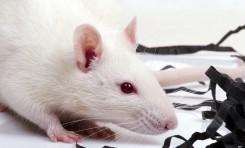 Sıçan Kalplerinden Üretilen Minyatür İnsan Kalpleri