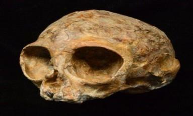 13 Milyon Yıllık Bebek Kafatası Fosili, Primatların Kökenine Işık Tutuyor