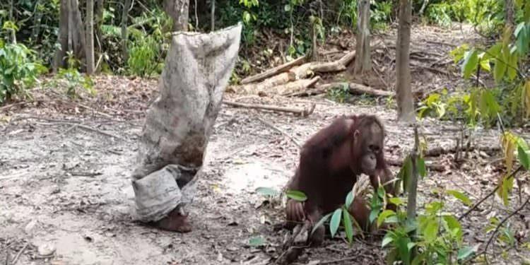 Dikkat Çekmeye Çalışan Orangutan ve Dikkatimizi Vermemiz Gerekenler