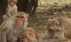 Dişi Makaklar Birleşerek Sosyal Statülerini Değiştirebiliyor