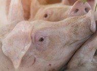 Domuzlardaki Retrovirüsler, CRISPR İle Deaktive Edildi