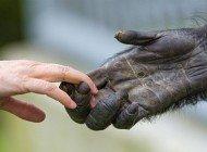 Evrimsel Süreçte İnsanlar, Diğer İnsansı Maymunlardan Ne Zaman Ayrıldı?