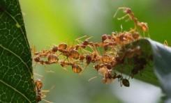 İlk Mutant Karıncalar, Sosyal Davranışın Evrimine Işık Tutuyor