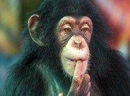 Şempanzeler, Basit Bir Oyunda 4 Yaşındaki Bir Çocuk Kadar Başarılı Olabiliyor