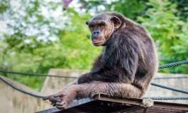 Yaşlı Şempanzeler de Alzheimer'a Yakalanıyor Olabilir