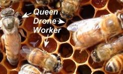 Arı Sütü İçmek Değil, Arı Ekmeği Yememek Taç Giydiriyor