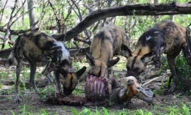 Afrika Yabani Köpeklerinde Demokratik Oylama