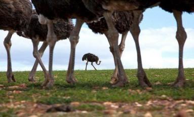 Deve Kuşları Neden 4 Adet Diz Kapağına Sahip Tek Hayvandır?