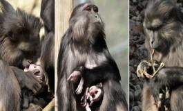 İlginç İlişkiler Doğası: Mumyalanmış Yavrusunu Yiyen Tonkean Makakı