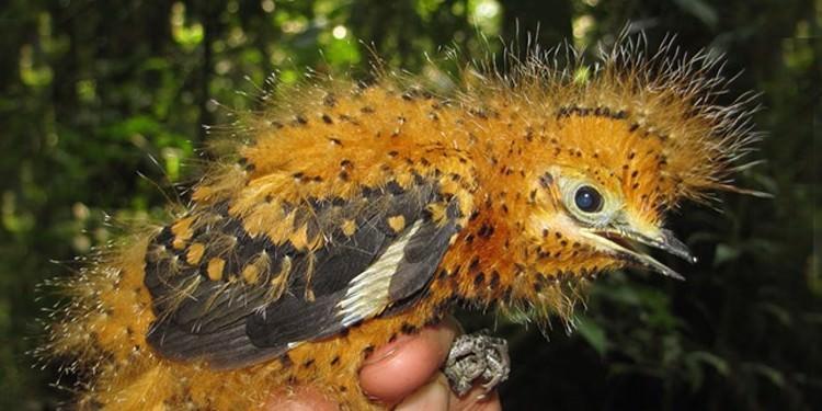 İlginç İlişkiler Doğası: Tırtıl Taklidi Yapan Kuş Yavrusu