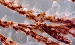 Bir Deniz Canlısında Bulunan İlaç Potansiyeli Laboratuvarda Üretilebildi