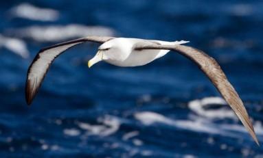 Kuşların Kanat Renkleri, Uçuş Performansını Etkiliyor Olabilir