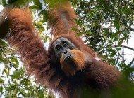 Ailemize Yeni Bir Orangutan Türü Katıldı: Tapanuli Orangutanı