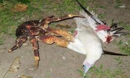 Dev Hindistancevizi Yengeci, Deniz Kuşunu Uykuda Yakalayıp Öldürüyor
