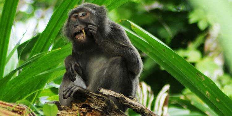 Makaklarda Kuş Tüyü Kullanarak Diş Temizliği Yapma Davranışı Gözlemlendi