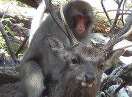 İlginç İlişkiler Doğası: Geyikle Çiftleşme Girişiminde Bulunan Makaklar