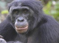 Bonobolar Güçlü Müttefikleri Tercih Ediyor