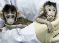 Koyun Dolly'de Kullanılan Teknik ile Klonlanan Dünyanın İlk Klon Maymunları