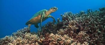 Küresel Isınma, Yeşil Deniz Kaplumbağası Yavrularının %99'unun Dişi Olmasına Neden Oldu